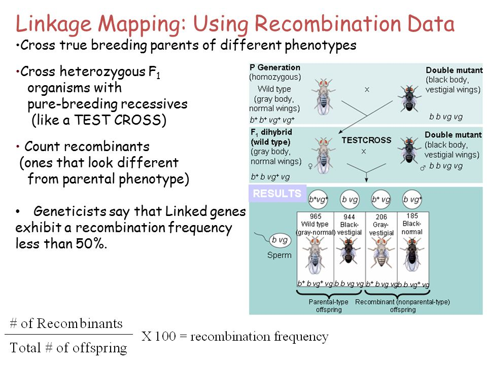 Linkage Mapping: Using Recombination Data Cross true breeding parents of different phenotypes Cross heterozygous F 1 organisms with pure-breeding recessives (like a TEST CROSS) Count recombinants (ones that look different from parental phenotype) Geneticists say that Linked genes exhibit a recombination frequency less than 50%.