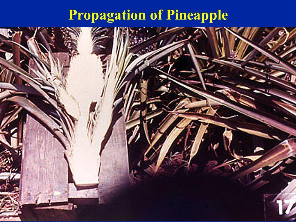 Propagation of Pineapple