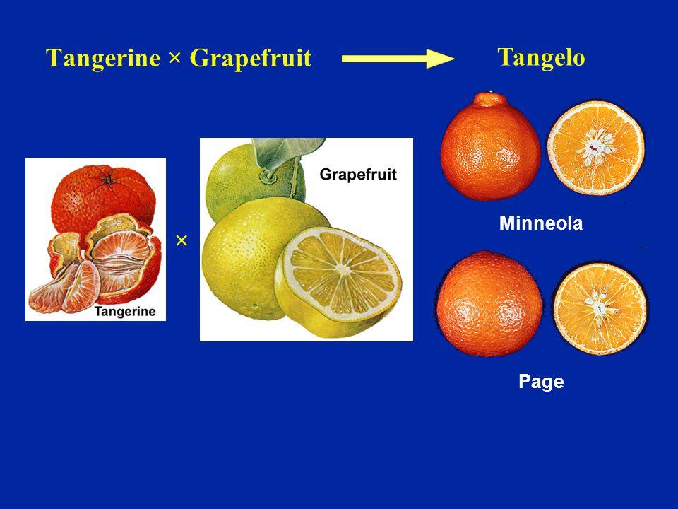Page Minneola Tangelo × Tangerine × Grapefruit
