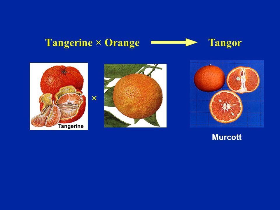Murcott × Tangor Tangerine × Orange