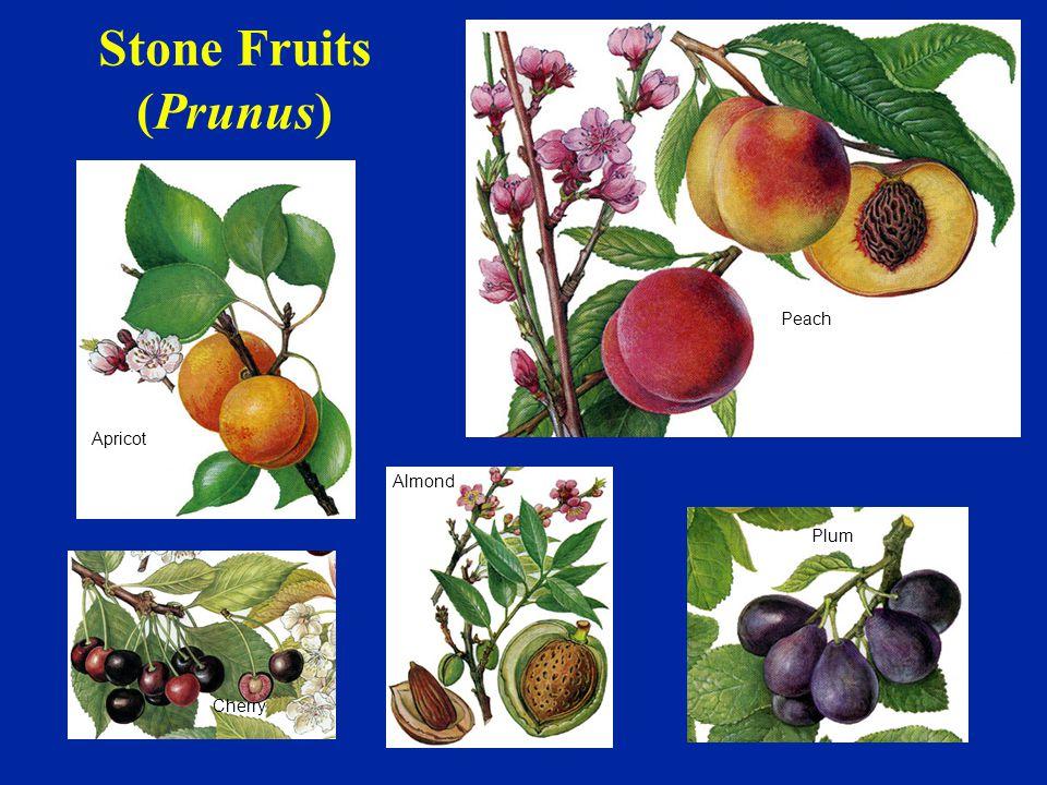 Stone Fruits (Prunus) Peach Plum Apricot Cherry Almond