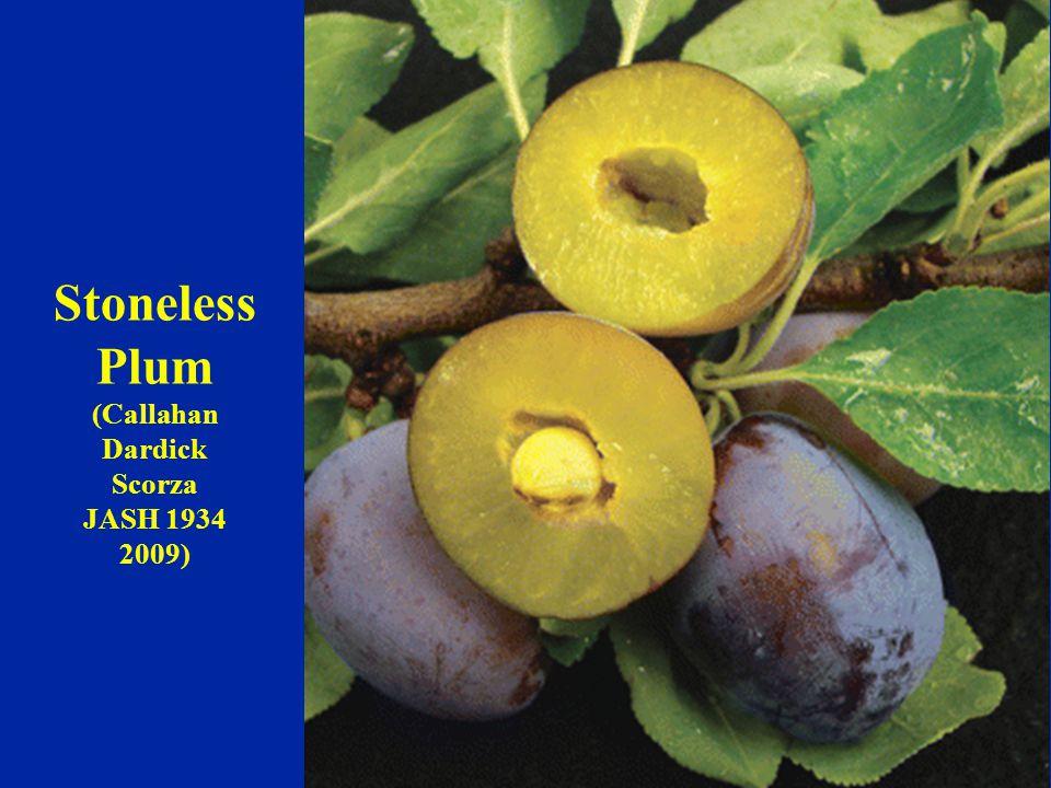 Stoneless Plum (Callahan Dardick Scorza JASH 1934 2009)
