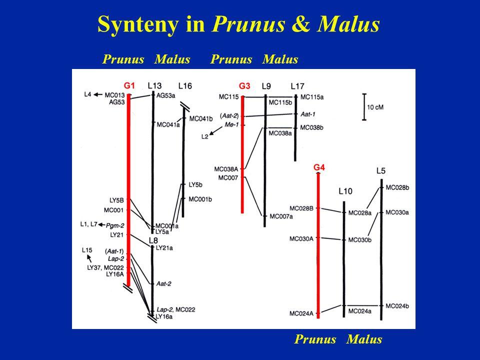 Synteny in Prunus & Malus PrunusMalusPrunusMalus PrunusMalus