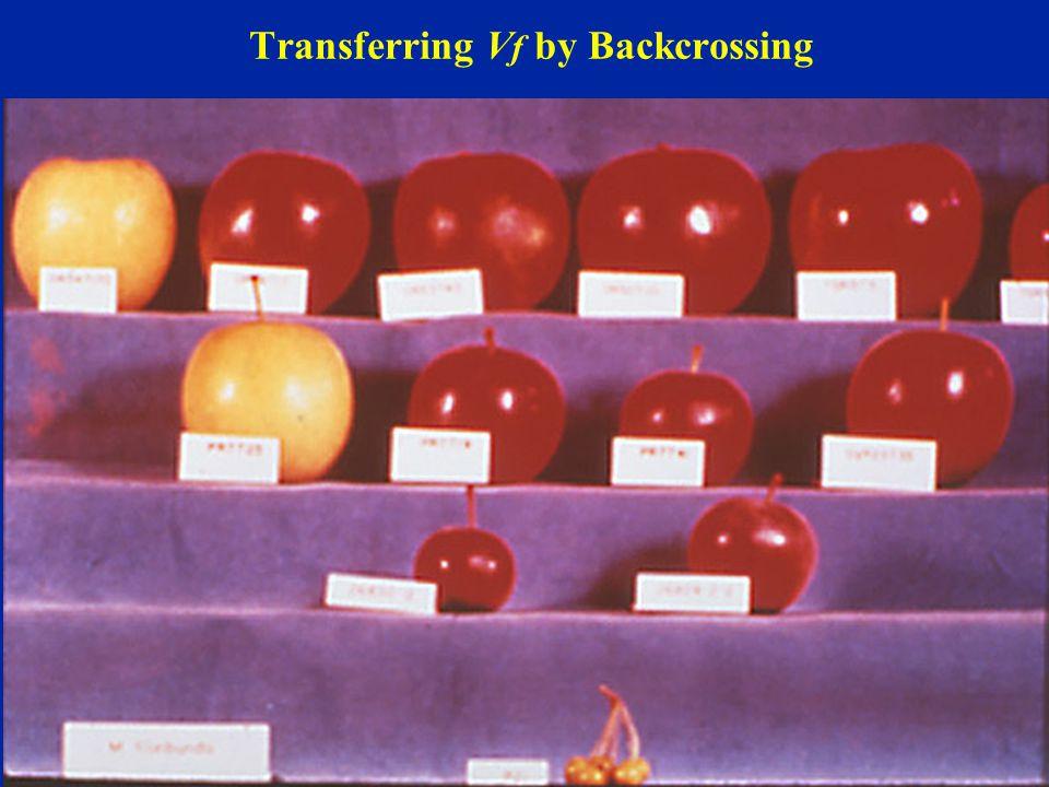 Transferring V f by Backcrossing