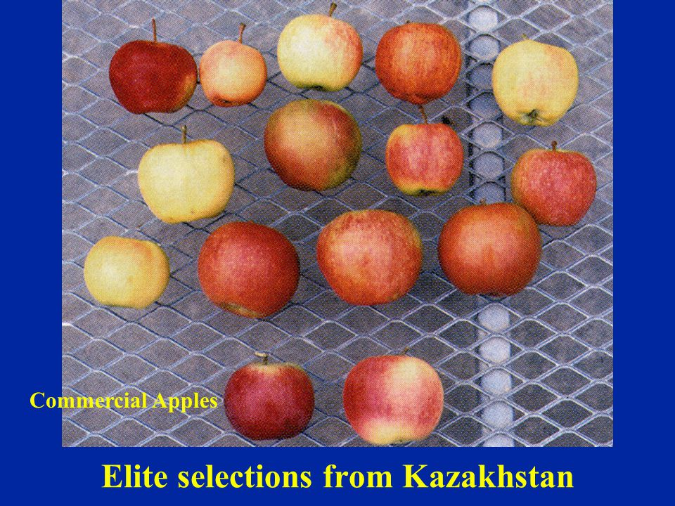 Elite selections from Kazakhstan Commercial Apples