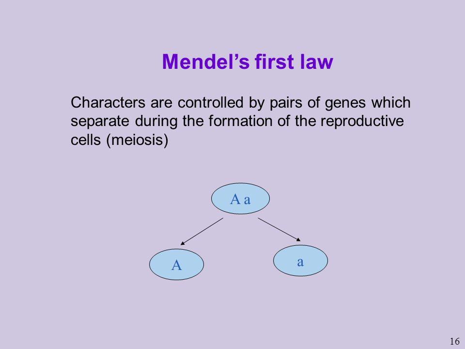 16 Mendel's first law Characters are controlled by pairs of genes which separate during the formation of the reproductive cells (meiosis) A a A a