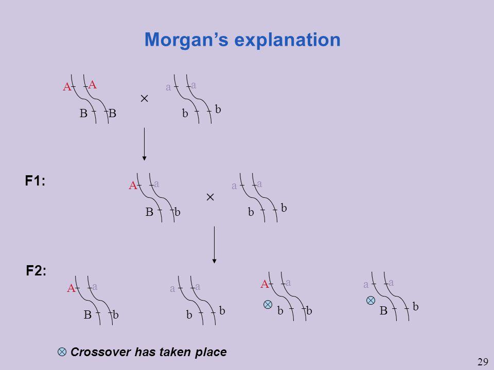 29 Morgan's explanation A A BB a a b b  F1: A a Bb a a b b  F2: A a Bb a a b b A a bb a a B b Crossover has taken place