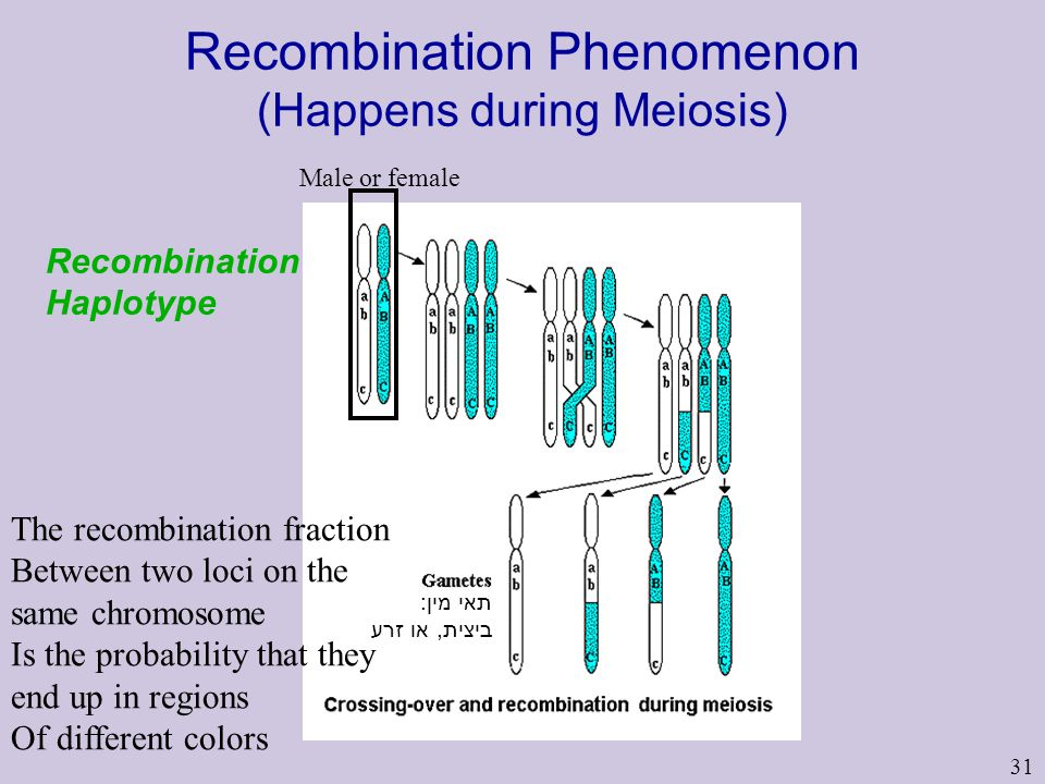 31 Recombination Phenomenon (Happens during Meiosis) Recombination Haplotype Male or female תאי מין: ביצית, או זרע The recombination fraction Between two loci on the same chromosome Is the probability that they end up in regions Of different colors