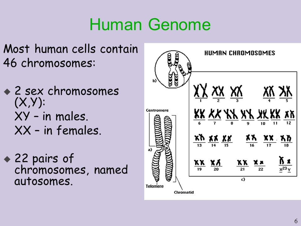 6 Human Genome Most human cells contain 46 chromosomes: u 2 sex chromosomes (X,Y): XY – in males.