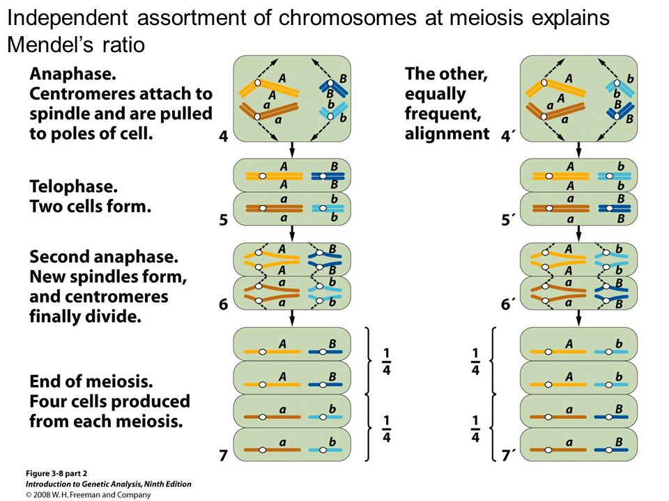 Figure 3-8 part 2 Independent assortment of chromosomes at meiosis explains Mendel's ratio