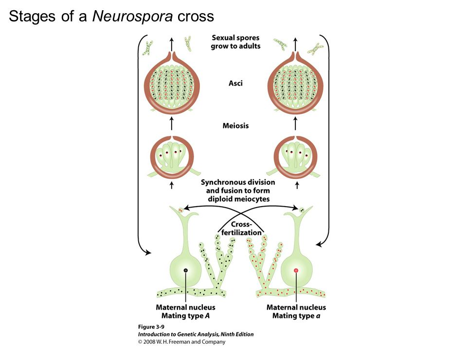 Figure 3-9 Stages of a Neurospora cross