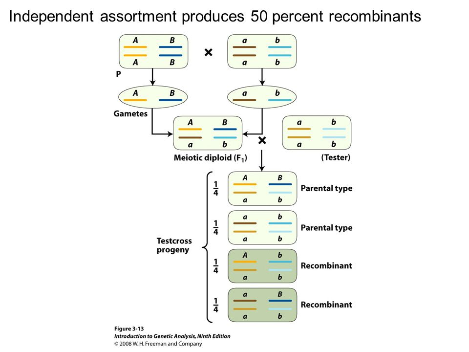Figure 3-13 Independent assortment produces 50 percent recombinants