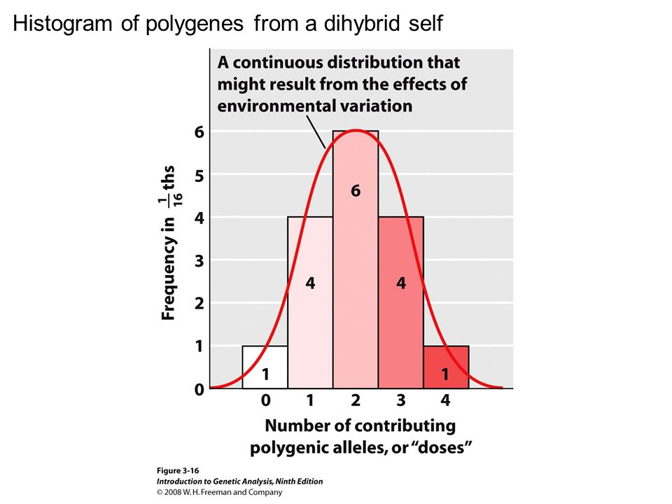 Figure 3-16 Histogram of polygenes from a dihybrid self