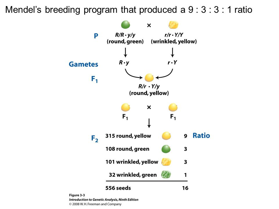 Figure 3-3 Mendel's breeding program that produced a 9 : 3 : 3 : 1 ratio
