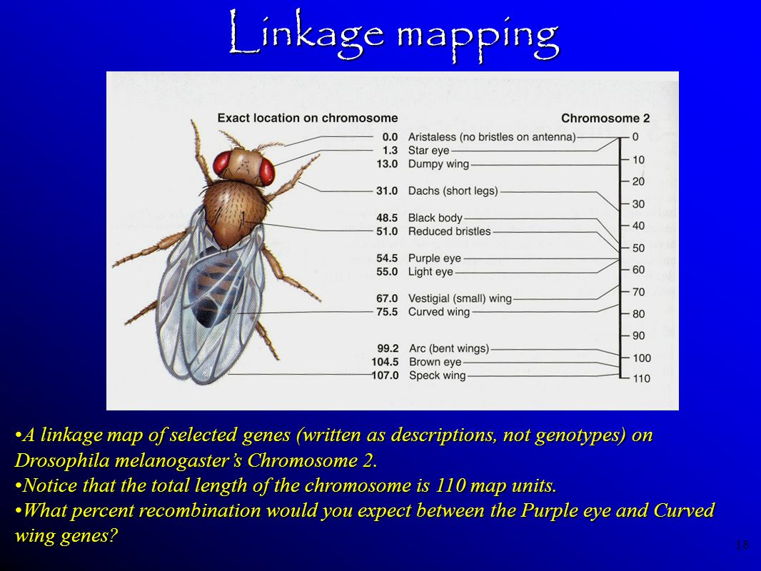 18 Linkage mapping A linkage map of selected genes (written as descriptions, not genotypes) on Drosophila melanogaster's Chromosome 2.A linkage map of