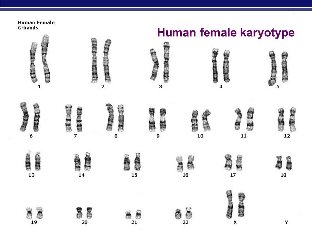 3 Human female karyotype