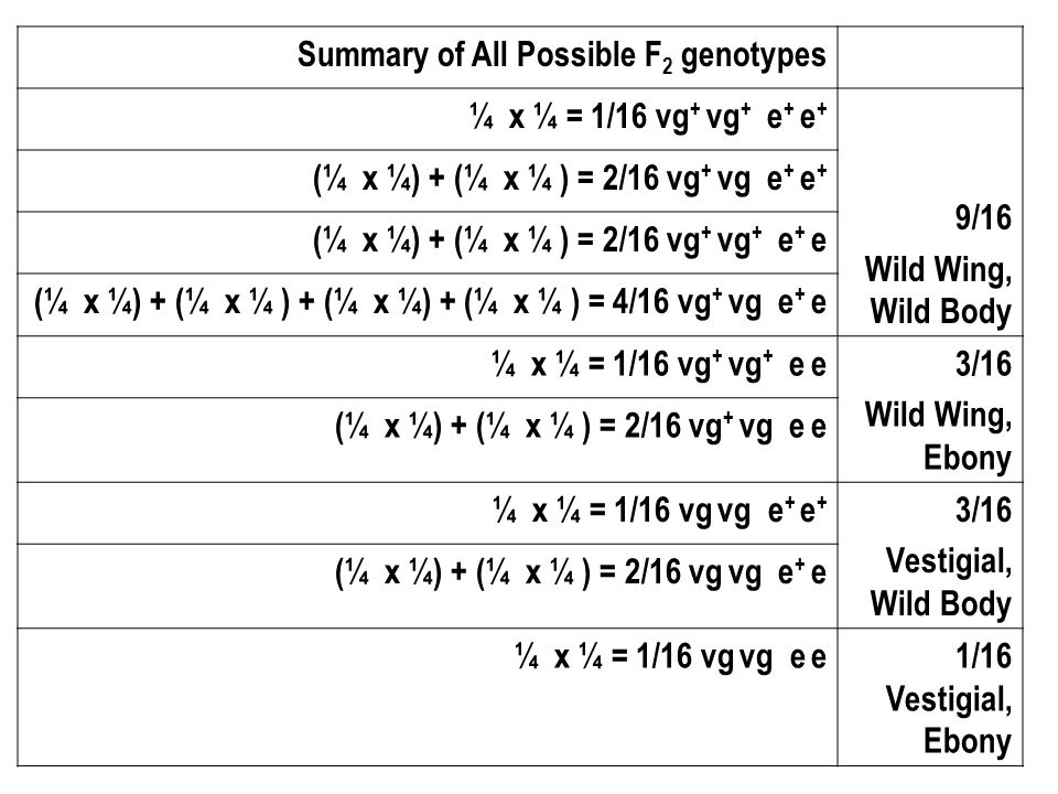 Summary of All Possible F 2 genotypes ¼ x ¼ = 1/16 vg + vg + e + e + 9/16 Wild Wing, Wild Body (¼ x ¼) + (¼ x ¼ ) = 2/16 vg + vg e + e + (¼ x ¼) + (¼ x ¼ ) = 2/16 vg + vg + e + e (¼ x ¼) + (¼ x ¼ ) + (¼ x ¼) + (¼ x ¼ ) = 4/16 vg + vg e + e ¼ x ¼ = 1/16 vg + vg + e e3/16 Wild Wing, Ebony (¼ x ¼) + (¼ x ¼ ) = 2/16 vg + vg e e ¼ x ¼ = 1/16 vg vg e + e + 3/16 Vestigial, Wild Body (¼ x ¼) + (¼ x ¼ ) = 2/16 vg vg e + e ¼ x ¼ = 1/16 vg vg e e1/16 Vestigial, Ebony