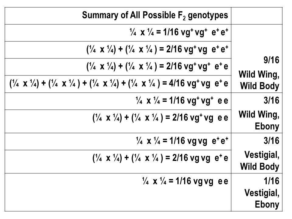 Summary of All Possible F 2 genotypes ¼ x ¼ = 1/16 vg + vg + e + e + 9/16 Wild Wing, Wild Body (¼ x ¼) + (¼ x ¼ ) = 2/16 vg + vg e + e + (¼ x ¼) + (¼