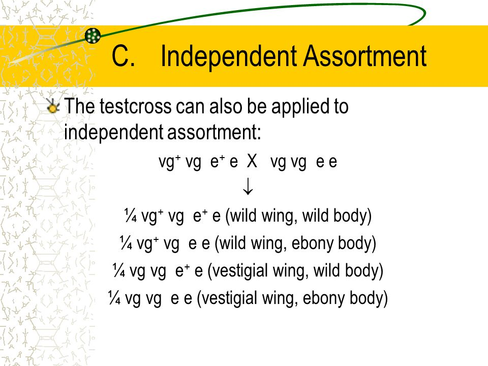 C.Independent Assortment The testcross can also be applied to independent assortment: vg + vg e + e X vg vg e e  ¼ vg + vg e + e (wild wing, wild body) ¼ vg + vg e e (wild wing, ebony body) ¼ vg vg e + e (vestigial wing, wild body) ¼ vg vg e e (vestigial wing, ebony body)