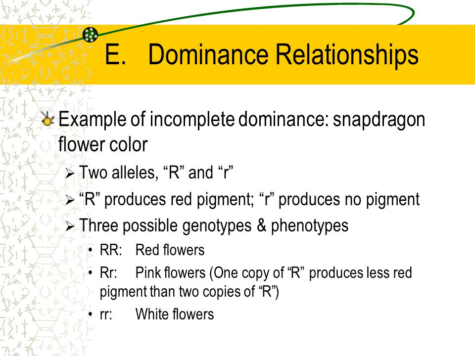 Example of incomplete dominance: snapdragon flower color  Two alleles, R and r  R produces red pigment; r produces no pigment  Three possible genotypes & phenotypes RR: Red flowers Rr: Pink flowers (One copy of R produces less red pigment than two copies of R ) rr: White flowers E.Dominance Relationships