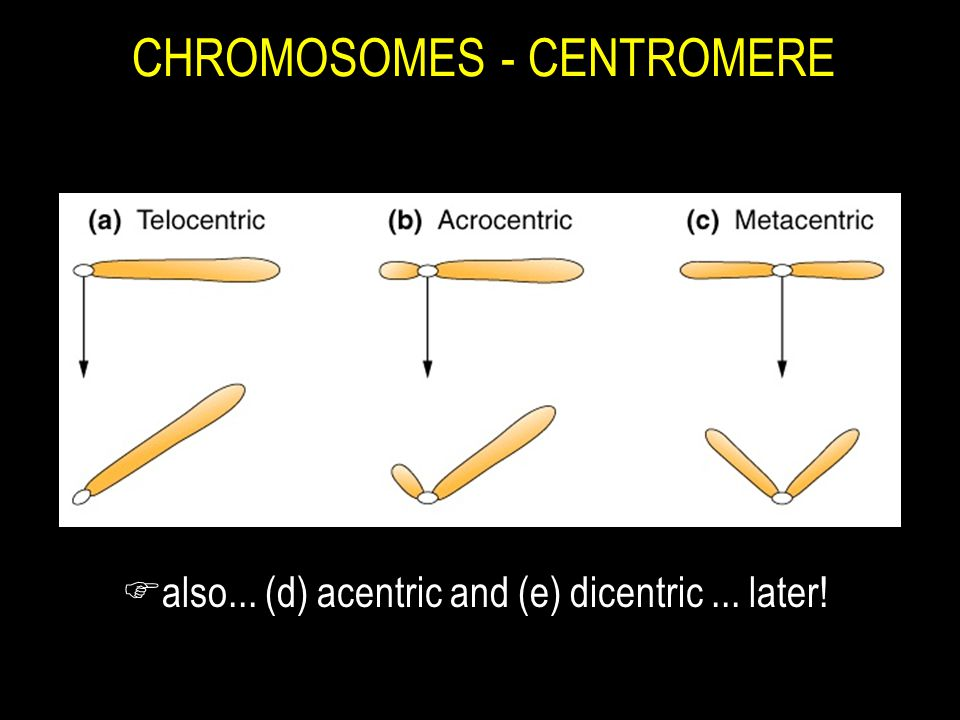 CHROMOSOMES - CENTROMERE Falso... (d) acentric and (e) dicentric... later!