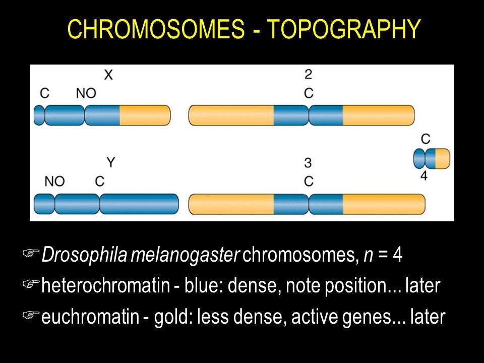 CHROMOSOMES - TOPOGRAPHY F Drosophila melanogaster chromosomes, n = 4 Fheterochromatin - blue: dense, note position... later Feuchromatin - gold: less