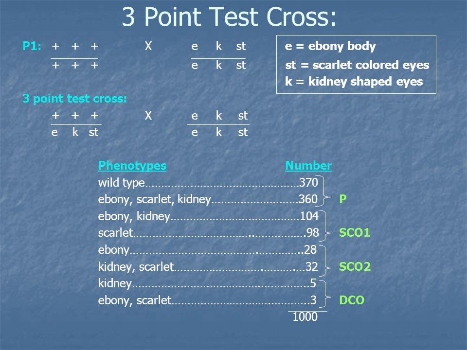 3 Point Test Cross: P1: + + +Xe k ste = ebony body + + +e k st st = scarlet colored eyes k = kidney shaped eyes 3 point test cross: + + +Xe kst e k ste kst PhenotypesNumber wild type…………………………………………370 ebony, scarlet, kidney………………………360 P ebony, kidney…………………….……………104 scarlet………………………………..…………….98 SCO1 ebony………………………………….…………..28 kidney, scarlet……………………….……….…32 SCO2 kidney…………………………………..…………..5 ebony, scarlet…………………………..………..3 DCO 1000