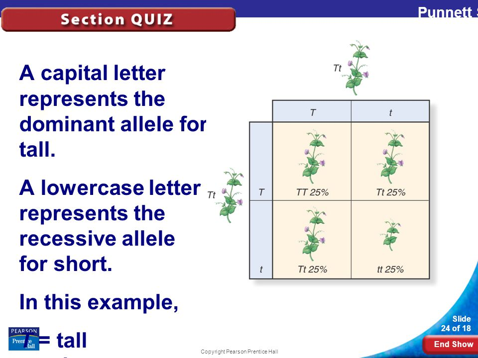 End Show Slide 24 of 18 Copyright Pearson Prentice Hall A capital letter represents the dominant allele for tall.