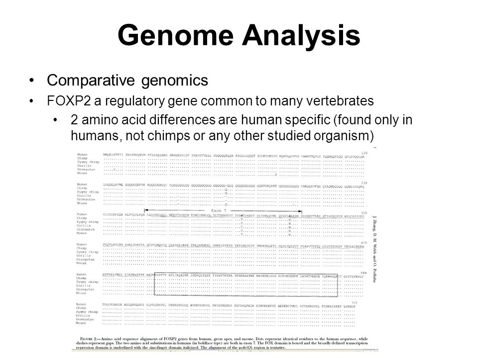 Comparative genomics FOXP2 a regulatory gene common to many vertebrates 2 amino acid differences are human specific (found only in humans, not chimps