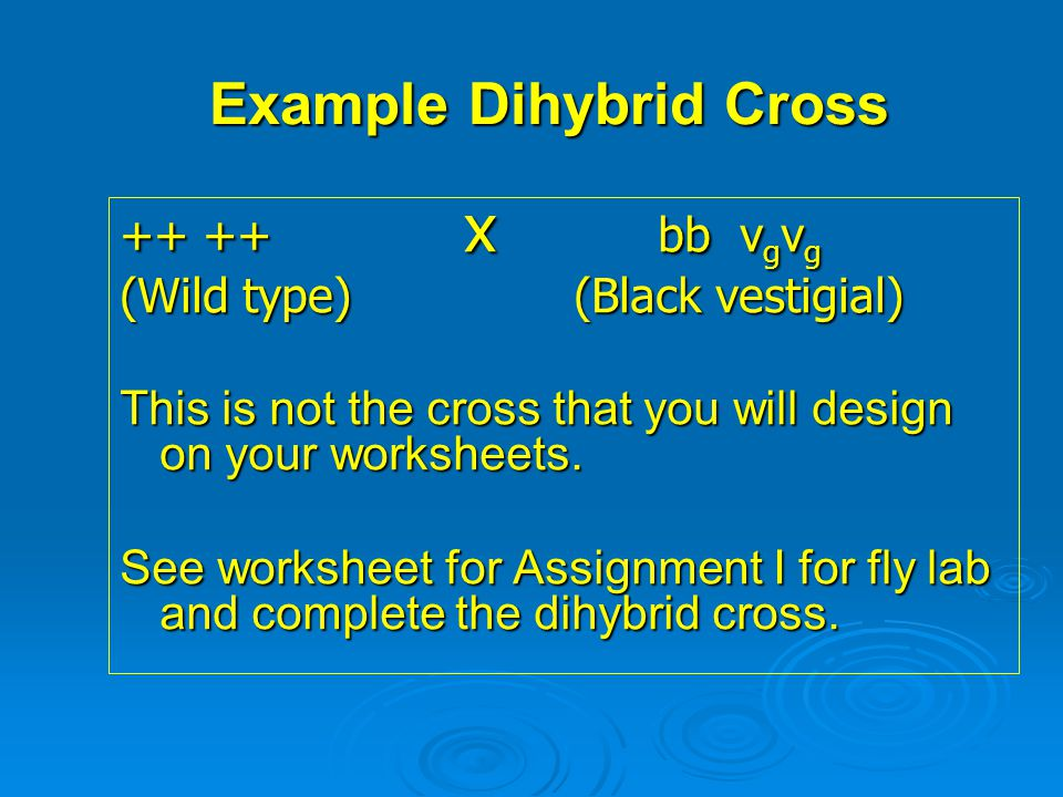 Example Dihybrid Cross ++ ++ x bb v g v g (Wild type) (Black vestigial) This is not the cross that you will design on your worksheets. See worksheet f