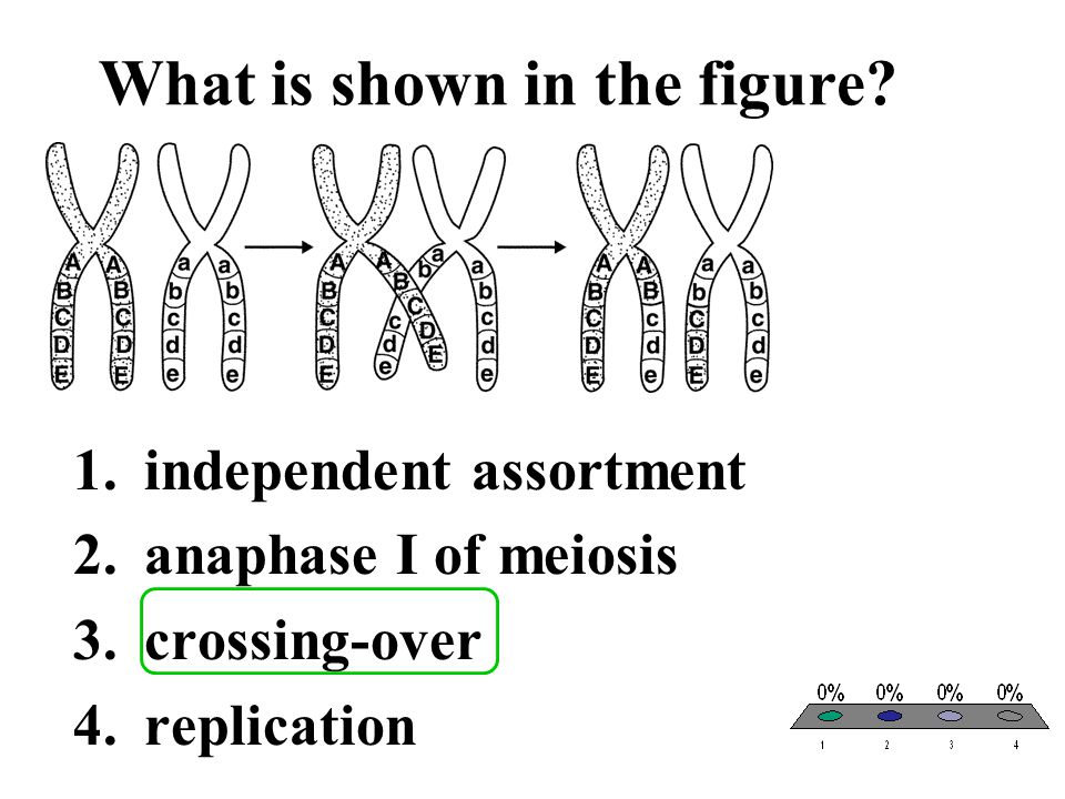 What is shown in the figure? 1.independent assortment 2.anaphase I of meiosis 3.crossing-over 4.replication