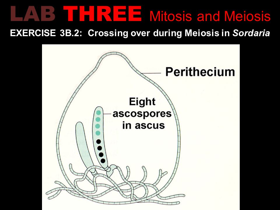 EXERCISE 3B.2: Crossing over during Meiosis in Sordaria LAB THREE Mitosis and Meiosis