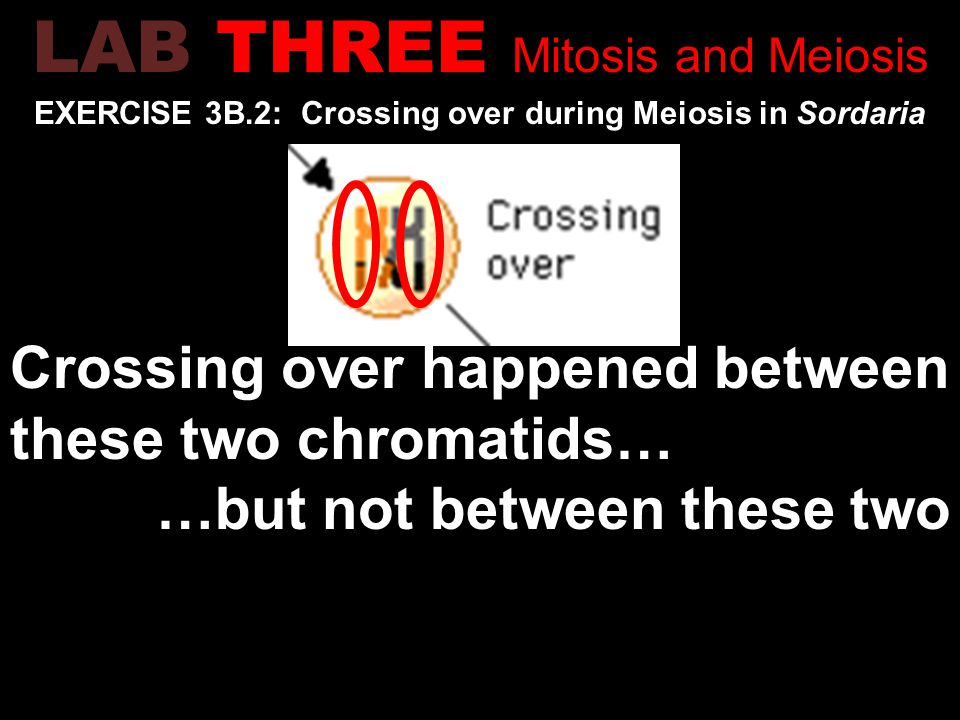 EXERCISE 3B.2: Crossing over during Meiosis in Sordaria Crossing over happened between these two chromatids… …but not between these two LAB THREE Mitosis and Meiosis