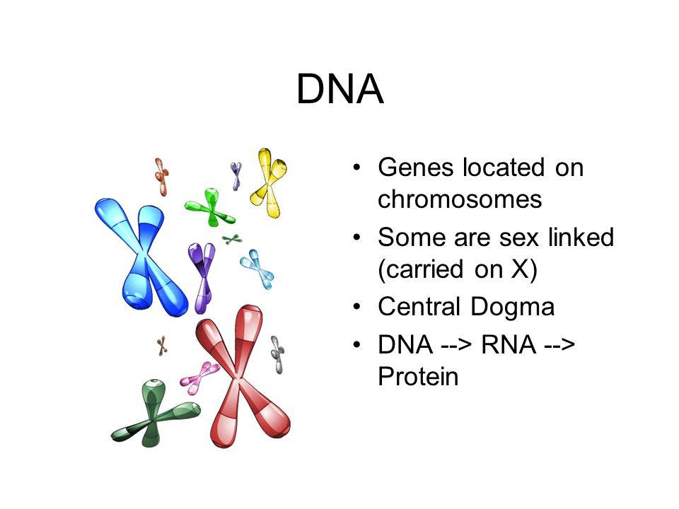 DNA Genes located on chromosomes Some are sex linked (carried on X) Central Dogma DNA --> RNA --> Protein