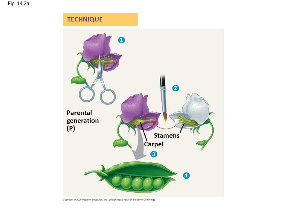 Fig. 14-2a Stamens Carpel Parental generation (P) TECHNIQUE 1 2 3 4