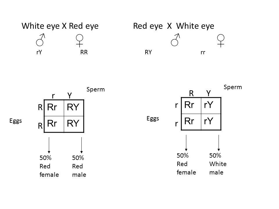 White eye X Red eyeRed eye X White eye ♂ ♀ ♂ ♀ rY RRRYrr RrRY RrRY Sperm Eggs r Y RRRR 50% Red female 50% Red male RrrY RrrY Sperm Eggs R Y rrrr 50% R