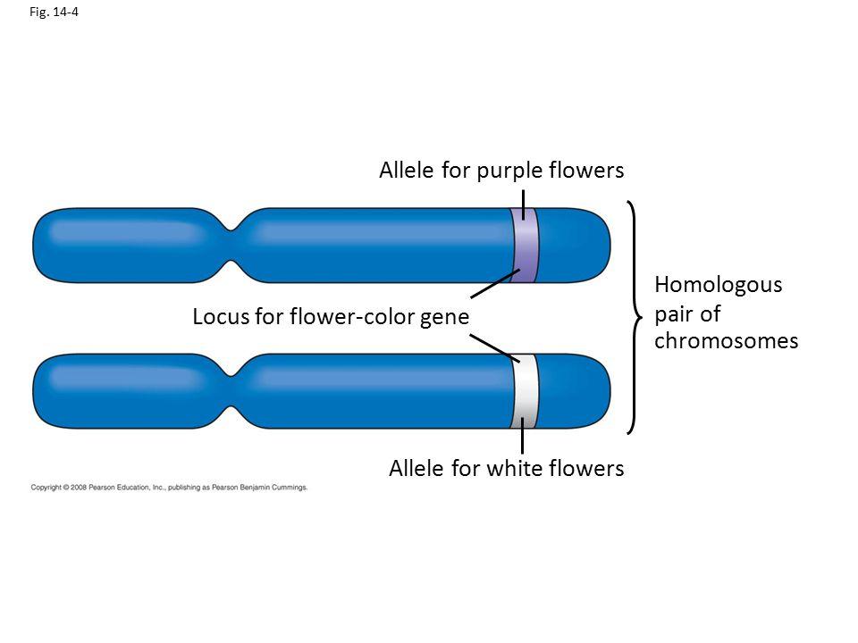 Fig. 14-4 Allele for purple flowers Homologous pair of chromosomes Locus for flower-color gene Allele for white flowers