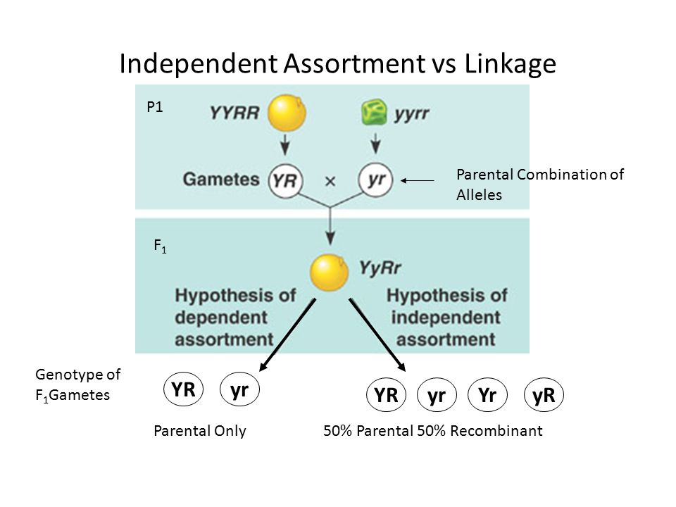 Independent Assortment vs Linkage P1 F1F1 Genotype of F 1 Gametes YRYryRyr YRyr Parental Combination of Alleles Parental Only 50% Parental 50% Recombi