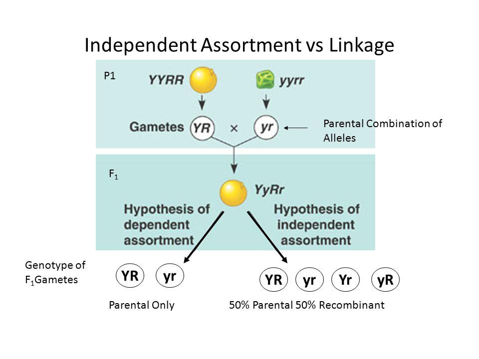 Pleiotropy – one gene may influence multiple traits.