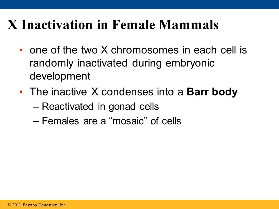 X Inactivation in Female Mammals one of the two X chromosomes in each cell is randomly inactivated during embryonic development The inactive X condenses into a Barr body –Reactivated in gonad cells –Females are a mosaic of cells © 2011 Pearson Education, Inc.