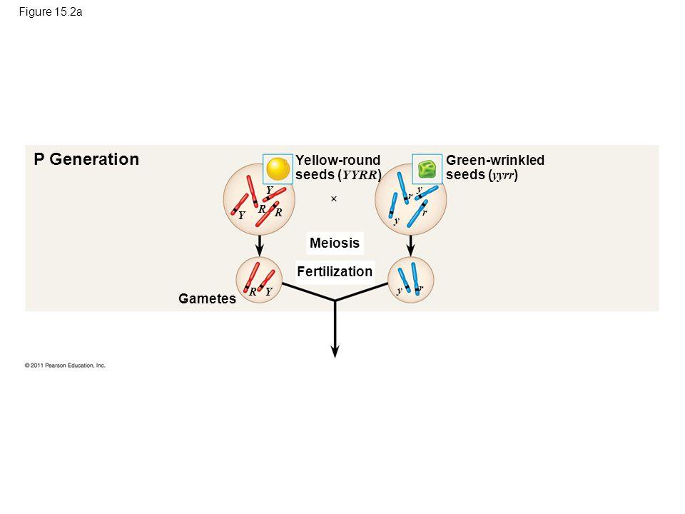 Figure 15.2a P Generation Yellow-round seeds ( YYRR ) Green-wrinkled seeds ( yyrr )  Meiosis Fertilization Gametes Y Y R R Y R y y r y r r