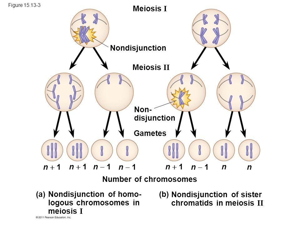 Meiosis I Meiosis II Nondisjunction Non- disjunction Gametes Number of chromosomes Nondisjunction of homo- logous chromosomes in meiosis I (a) Nondisjunction of sister chromatids in meiosis II (b) n  1 n  1 n  1 n  1 n  1 n n Figure 15.13-3