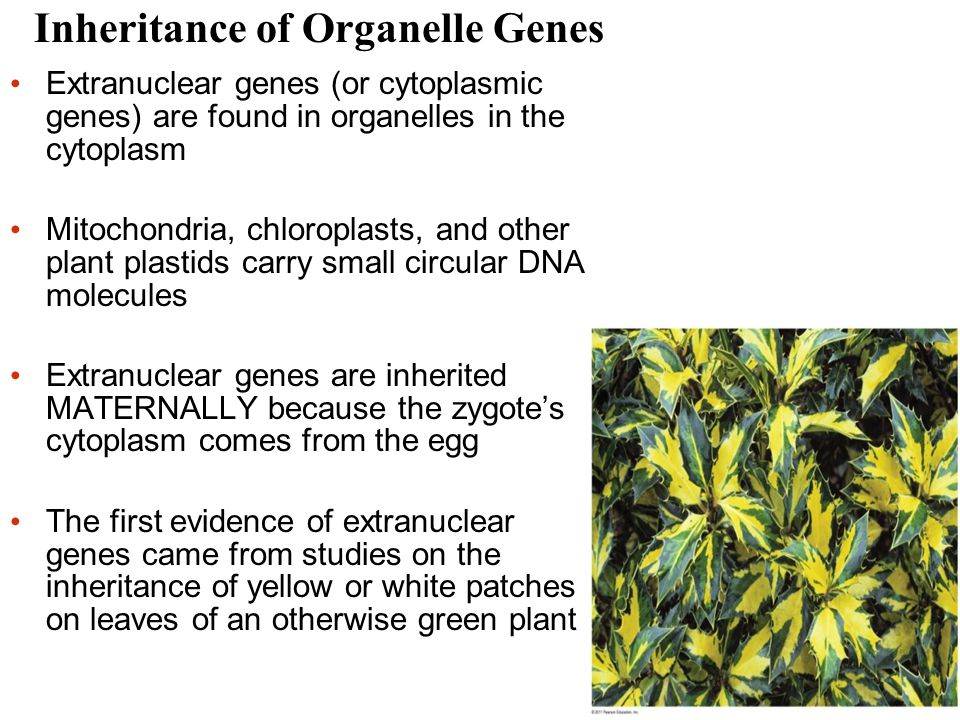 Inheritance of Organelle Genes Extranuclear genes (or cytoplasmic genes) are found in organelles in the cytoplasm Mitochondria, chloroplasts, and other plant plastids carry small circular DNA molecules Extranuclear genes are inherited MATERNALLY because the zygote's cytoplasm comes from the egg The first evidence of extranuclear genes came from studies on the inheritance of yellow or white patches on leaves of an otherwise green plant