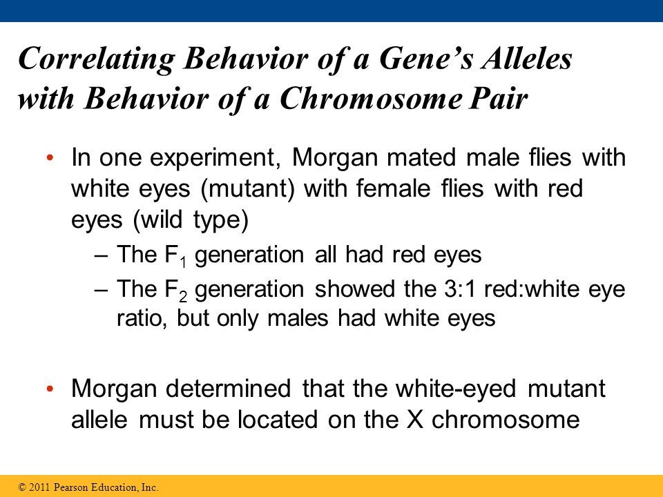 Correlating Behavior of a Gene's Alleles with Behavior of a Chromosome Pair In one experiment, Morgan mated male flies with white eyes (mutant) with female flies with red eyes (wild type) –The F 1 generation all had red eyes –The F 2 generation showed the 3:1 red:white eye ratio, but only males had white eyes Morgan determined that the white-eyed mutant allele must be located on the X chromosome © 2011 Pearson Education, Inc.
