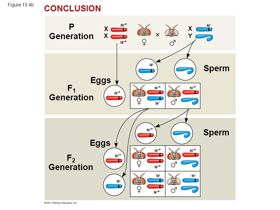 Figure 15.4b F 2 Generation P Generation Eggs Sperm X ww CONCLUSION X X Y ww ww ww ww ww ww ww ww ww ww w w w w w w F 1 Generation