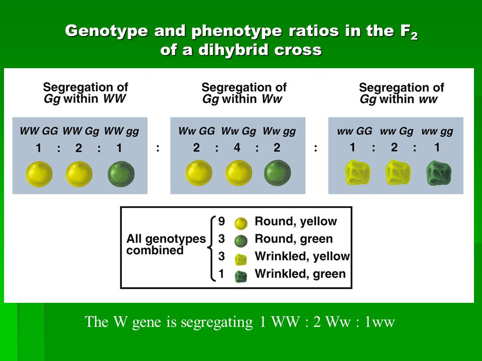 Genotype and phenotype ratios in the F 2 of a dihybrid cross The W gene is segregating 1 WW : 2 Ww : 1ww