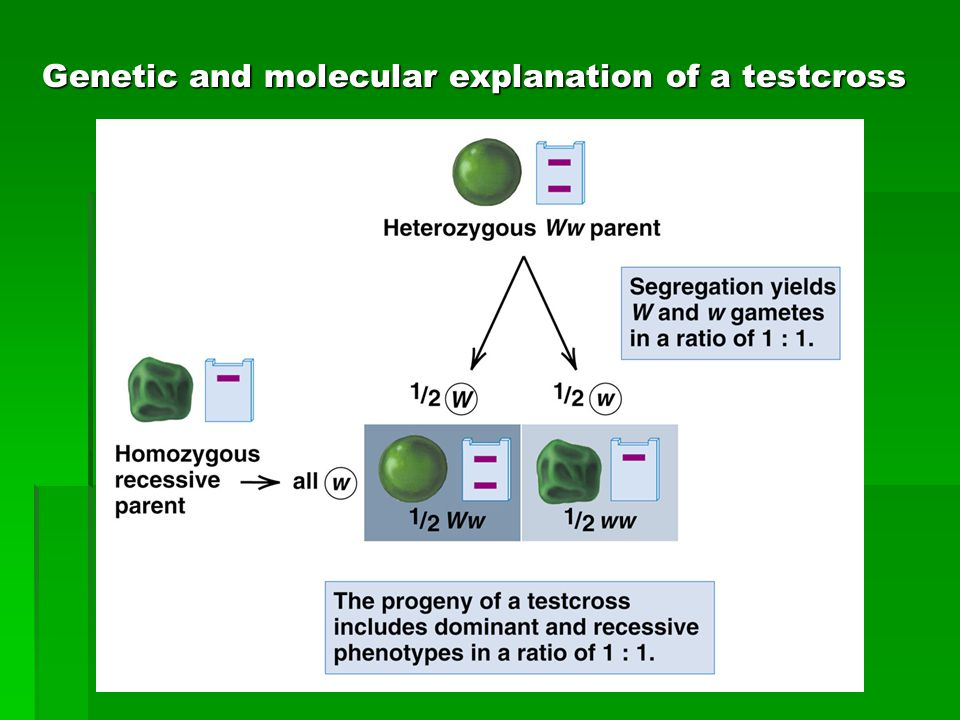 Genetic and molecular explanation of a testcross