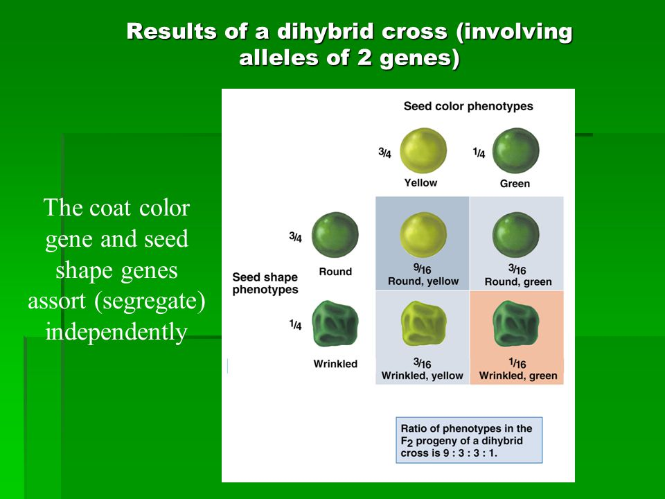 Results of a dihybrid cross (involving alleles of 2 genes) The coat color gene and seed shape genes assort (segregate) independently
