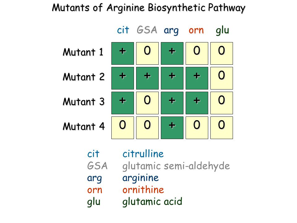 Mutants of Arginine Biosynthetic Pathway + 0 + 00 ++++ 0 + 0 ++ 0 00 + 00 Mutant 1 Mutant 2 Mutant 3 Mutant 4 citGSAargornglu cit citrulline GSAglutamic semi-aldehyde argarginine ornornithine gluglutamic acid