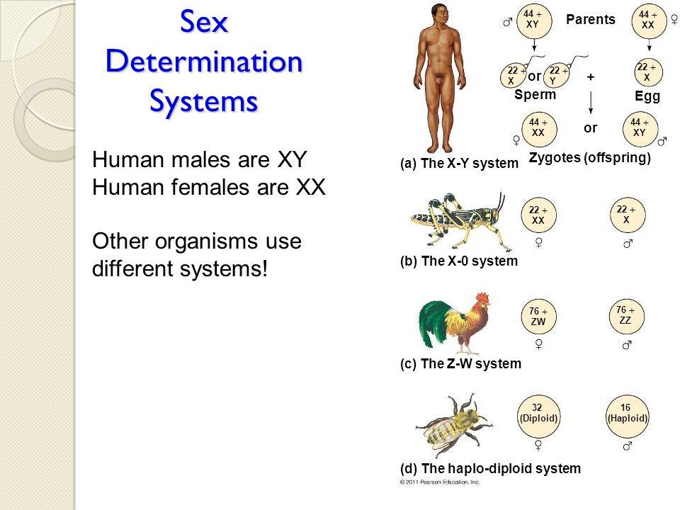 Sex Determination Systems Parents or Sperm or Egg Zygotes (offspring) 44  XY 44  XX 22  X 22  Y 22  X 44  XX 44  XY 22  XX 22  X 76  ZW 76 